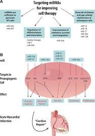 micrornas in stem cell function and regenerative therapy of the
