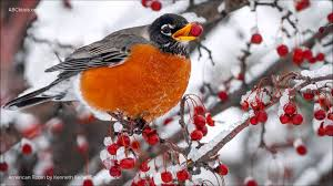 american robin song youtube