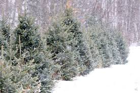 christmas tree farms in utah christmas lights decoration