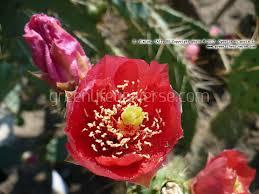 Flowers Information - opuntia vulgaris prickly pear plants u0026 flowers information