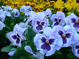 beneath the petals fun facts about pansies and violas the plant