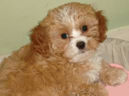 bichon frise jack russell cross temperament welcome to dra