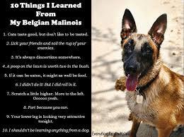 belgian sheepdog vs belgian malinois german shepherd strong and loyal belgian malinois german