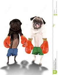 pug x boxer dog pug boxers stock images image 14730334