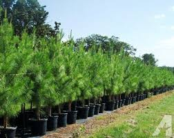 loblolly pine trees and surrounding for sale in