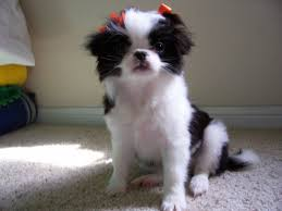 japanese chin puppies dogs for sale in tucson arizona az