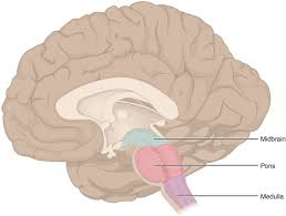 What Portion Of The Brain Controls Respiration The Brain Stem Boundless Anatomy And Physiology