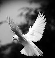 white dove hd desktop wallpaper widescreen definition art