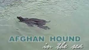 afghan hound puppies youtube afghan hound in the sea youtube
