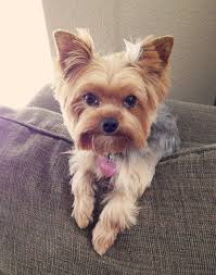 haircuts for yorkies i love this haircut all about yorkies ᴥ pinterest
