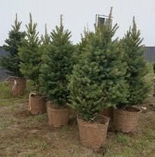 blue spruce trees for sale home