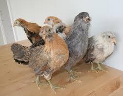 buy easter egger chickens marin chickens 6 weeks marin homestead
