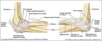 Knee Bony Anatomy Duke Anatomy Lab 16 Upper U0026 Lower Limb Joints