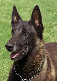 belgian malinois police nmsu police department canine rio retires after one final search
