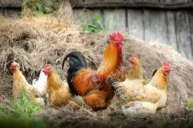 meet the man fighting to save our country u0027s rarest chickens