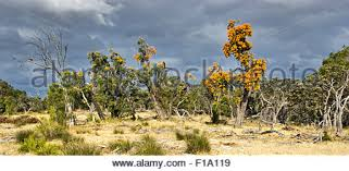 australian christmas bush stock photo royalty free image 5638486