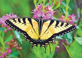 tiger swallowtail butterfly britannica com