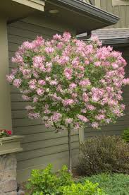 tinkerbelle is a lilac with a pleasing spicy fragrance and