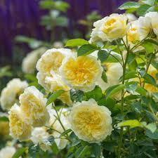 Climbing Plants For North Facing Walls - climbing roses for north facing walls david austin roses