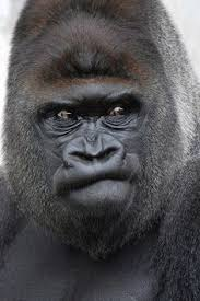 Funny Gorilla Memes - gorilla gorilla canvas print canvas art by ronald wittek