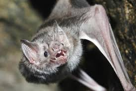 researchers develop u0027species from u0027 dna tool to identify bats