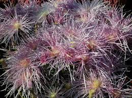 purple color spider mum chrysanthemum flower wallpaper tadka