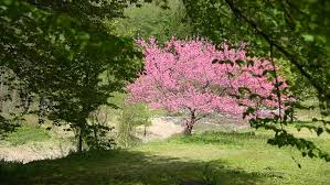 Trees With Pink Flowers Sakura Trees With Pink Blossoming Flowers Tokyo Garden Japan