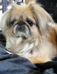 home decor omaha ne home decor tempting pekingese rescue pets for adoption at little
