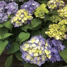 hydrangea endless summer bloomstruck hydrangea