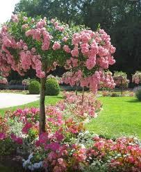 Pink Spring Flowering Shrubs - flowering trees that will make you say wow
