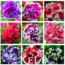 petals for sale sale garden petunia petals flower seeds for garden petunia