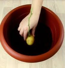pomme de si e social indoor lemon tree care meyer lemon tree lemon and patios