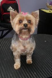pictures of puppy haircuts for yorkie dogs groomers bbs yorkie puppy cut faces