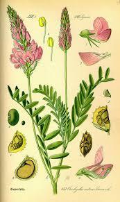 ephedra plant wikipedia 678 best flora von deutschland österreich und der schweiz images