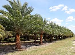 sylvester palm tree sale silver date palm tree field florida grown palms date palms by