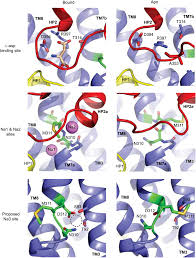 coupled ion binding and structural transitions along the transport