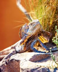 frilled neck lizard habitat diet u0026 reproduction nsw
