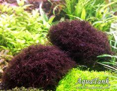 christmas moss aquariums plants and aquascaping