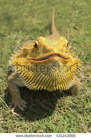 bearded dragon stock images royalty free images u0026 vectors