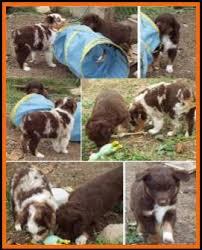 australian shepherd 6 weeks old callie u0027s litter 1 pup1 bet blue eyed red tri male miniature