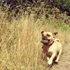 pug x boxer dog jack russell cross pug u0027jug u0027 dogs home facebook