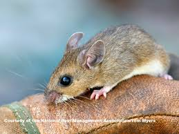 mice facts about mice types of mice pestworldforkids org