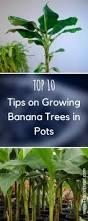 best 25 banana growing ideas on pinterest fruit garden grow