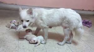 american eskimo dog price in kolkata indian spitz indian spitz puppies spitz puppies dog youtube