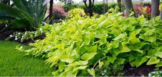 sweet potato vine costa farms