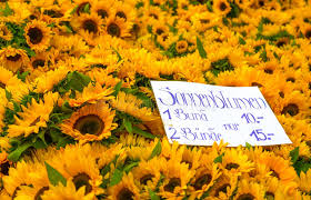sunflowers for sale sunflowers for sale stock photo image of yellow market 77219794