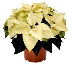 white poinsettia buy poinsettia white plant online at cheap price india s