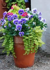 Flowering Patio Plants Geranium Persian Queen Blue Pansy Creeping Jenny Mixed