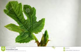 fig leaf stock photo image 51394379