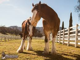Budweiser Clydesdale Barn Clydesdale Pictures U0026 Videos Warm Springs Ranch Budweiser
